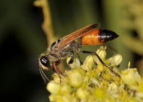 le sphex qui nourrit ses larves avec ses proies(photo s&m)
