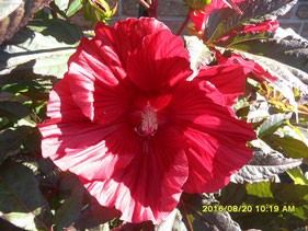 Hibiskus+Summerific+Midnight+Marvel+dunkelbraunes+laub+scharlachrote+Blüten