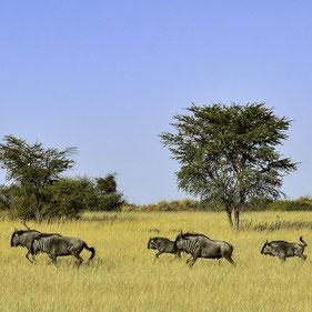 Namibia - Gnu nel Deserto del Kalahari