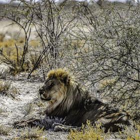 Namibia - Re Leone nell'Etosha National Park