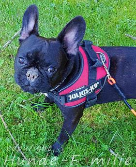 Heiley, französische Bulldogge aus Ismaning