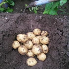 Bei der Kartoffelernte geht nichts ohne Handarbeit.