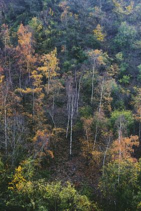 Herbstlicher Birkenwaldhang