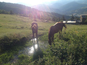 les chevaux du gite de la gorre dans la vallée en train de boire dans un ruisseau,  gite en location et stages bien être en Ardéche