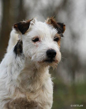 (c) Antje Heller; Outlaw British Jack Russell Terrier