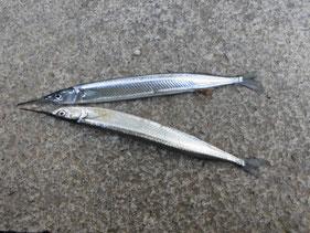 サヨリの釣り場 北九州市小倉北区・戸畑区・八幡・若松区
