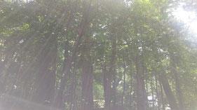 ■伊勢神宮内宮 神宮の森