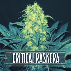 semillas marihuana critical raskera
