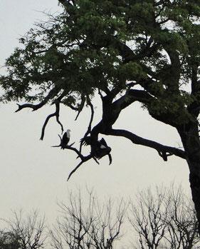 Schreiseeadler im Baum