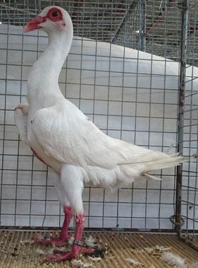 Mâle blanc Ch Fagot