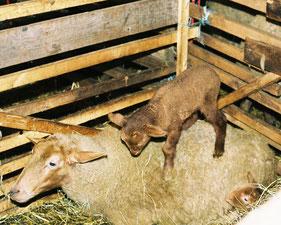 Coburger Fuchsschaf mit Lamm