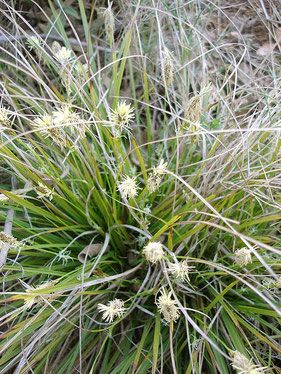 Carex (Wikipedia)
