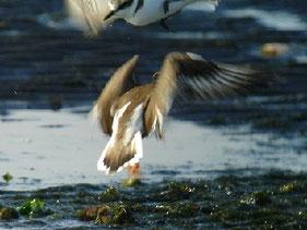 ・2010年1月3日 三番瀬  ・シロチドリが近づいたので、ハジロコチドリが攻撃した。シロチドリは、パッと舞いあがって、攻撃をかわした。  ハジロコチドリの風切に白い翼帯が見られる。 これは、ハジロコチドリの特徴で名前(羽白)の由来となっている。コチドリにはこの白帯は無い。