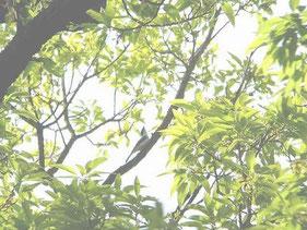 ・2005年4月29日 秋ケ瀬公園    ・高い樹の上。 しかも逆光。