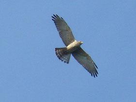 ・2007年10月6日 武山山頂    ・胸に縦縞あり。 幼鳥か。
