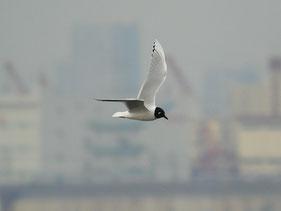 ・2009年3月29日 三番瀬  ・単独に飛んでくれるので、視認しやすい。