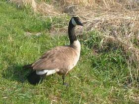 ・2002年4月7日 手賀沼  ・頸付け根に白い首輪が無いのでシジュウカラガンでない。