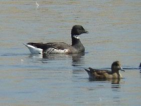 ・2010年3月5日 三番瀬  ・成鳥は頭部から頸、胸、腹が黒く、上頸の白い頸輪状斑の中に黒い模様が入る。