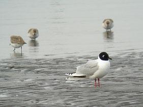 ・2009年3月29日 三番瀬  ・東突堤のすぐ近くに舞い降りた。 背後はハマシギ。