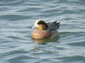 ・2008年2月10日 新浦安 交雑種  ・本個体は、目の後の緑色部分が少なく褐色。 また、額はクリーム色みが強い。
