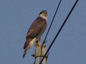 ・2009年5月10日 柏新利根    ・獲物狙いに集中している模様。 こちらのことは全然気にしてくれなかった。