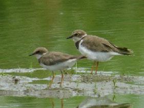 ・2009年8月23日 牛久沼田圃  【大きさ比較】左:コチドリ、右:イカルチドリ