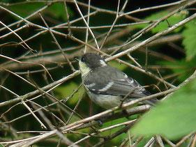 ・2006年6月24日 伊香保森林公園   ・特徴は翼帯が2本。 シジュウカラは1本。