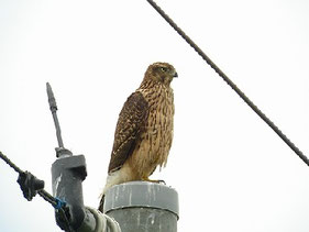 ・2008年9月7日 河内町 幼鳥    ・何もいない休耕田を見張っていた。