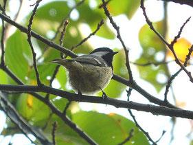 ・2006年11月3日 秋ケ瀬公園    ・翼帯が2本が見える。