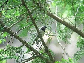 ・2005年6月12日 高尾山   ・すばしこいヒガラ。