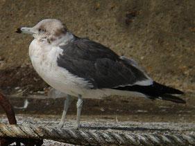 ・2010年2月20日 銚子港 第3回冬羽   ・成鳥冬羽に似るが、嘴が灰緑色で初列風切の白斑が見られないことから第3回冬羽。