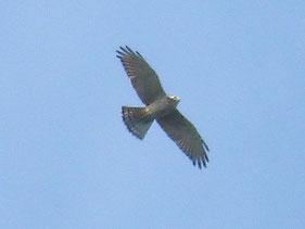 ・2007年10月6日 武山山頂    ・腹の黒い暗色型。 サシバにもいろいろな羽模様がある。