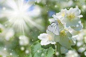 Ein weißer Schmetterling sitzt auf weißen Blütenblättern. Die Sonne strahlt hell vom Himmel und versprüht funklende Sternchen des Lichts.