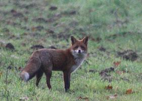 Wachsamer Fuchs