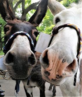 nonverbale Kommunikation mit Eseln Aron und Karel