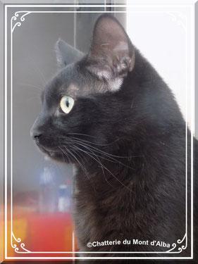 chat de maison, chat de gouttière, chat noir