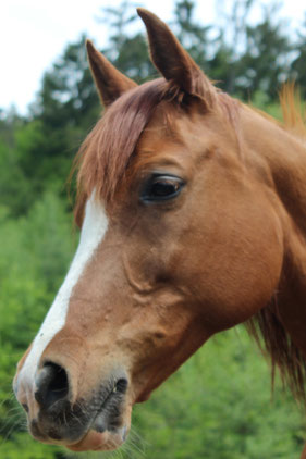 *2003 Arabian mare imported from Morocco