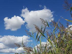 Wolken vor blauem Himmel mit wehendem Schilfgras