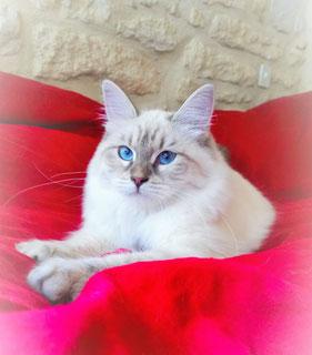 siberien bleu