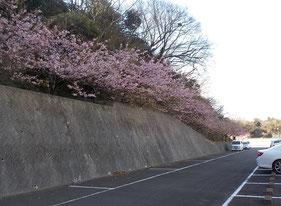三浦霊園,桜