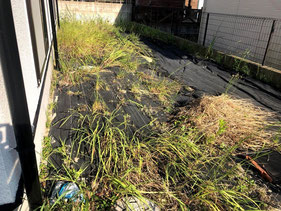 雑草が防草シートの下から生えてきた状態