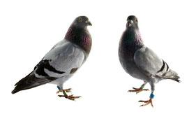 Alles für die Taube