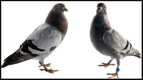 Taubenfutter und Zubehör