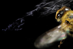 flying honey bee (Apis mellifera) in an odor plume (photomontage)