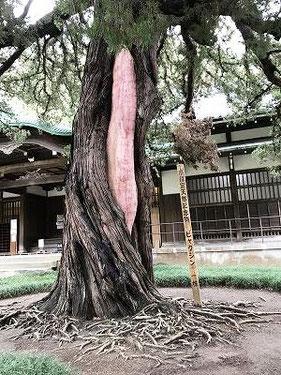 樹木医さんが老木を治して、このようになってますが、少し変・・・
