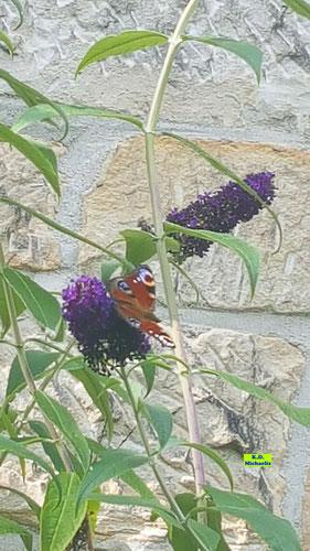 Dunkellila Sommerflieder/Schmetterlingsstrauch mit Schmetterlingsbesucher Tagpfauenauge von K.D. Michaelis