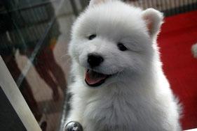 un chiot samoyede blanc dans une animalerie par coach canin 16 educateur canin à domicile en charente