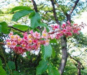 新宿御苑に咲くレッドチェストナット
