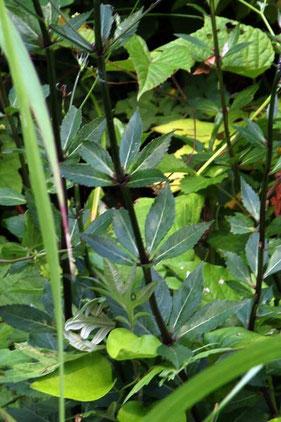 ハマシャジンの葉は無毛で厚く光沢がある
