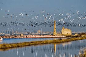 Las aves de la Albufera en los campos de arroz,Valencia.